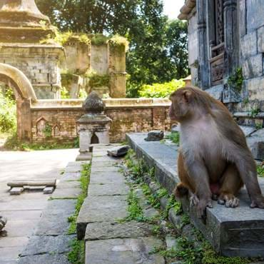 Monkeys in Pashupatinath Temple